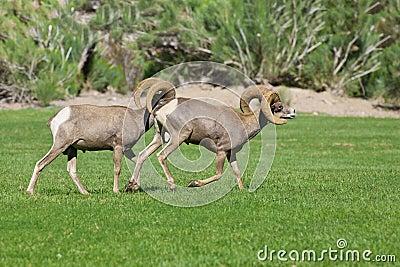 Espolones de las ovejas de Bighorn del desierto