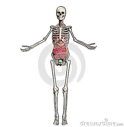 Esqueleto com órgãos internos