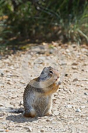 Esquilo à terra
