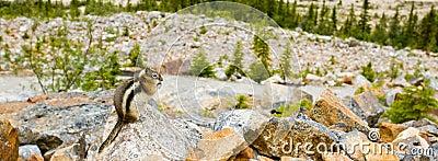Esquilo à terra envolvido dourado