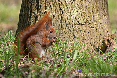 Esquilo vermelho na grama