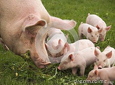 Essen der Schweine