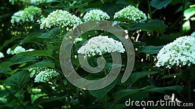 Estabelecimento de uma fotografia de flores brancas de hydrangea, Hydrangea macrophylla, com folhas verdes vídeos de arquivo