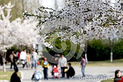Estación del flor de cereza.