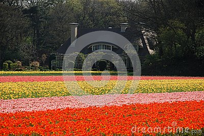 An estate in tulips  fields