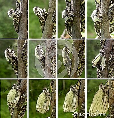 Estágios da evolução da borboleta