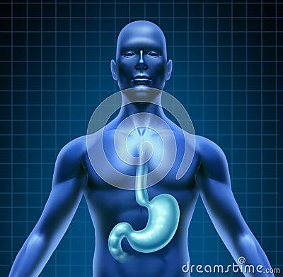 Estómago y digestión humana