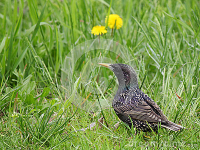 Estorninho na grama verde