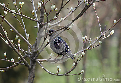 Estorninho no ramo da árvore