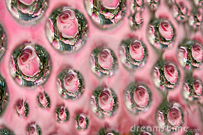 Estratto della rosa di colore rosa