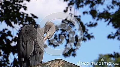 Estrechos de una garza gris sentada en la azotea y abriendo sus plumas, especie común de ave de Eurasia almacen de metraje de vídeo