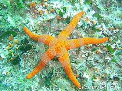 Estrela marinha