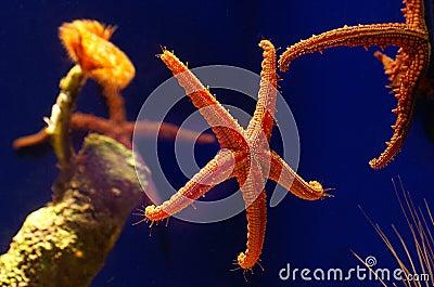 Estrellas de mar vivas en el agua