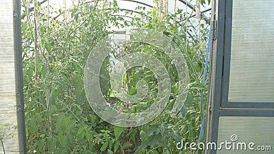 Estufa, vista de ramos com tomate, vista em túnel de tomate cultivado e de sementes verdes, cultivando legumes numa estufa video estoque