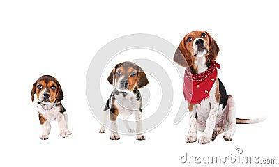 Etapas del crecimiento del perrito del beagle
