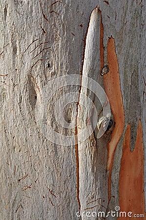 Eucalypt Tree Bark