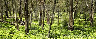 Eucalyptus forest and fern leaves