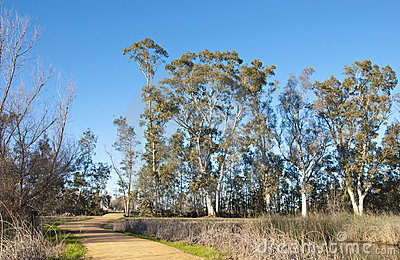 Eucalyptus Grove with Small Dirt Road