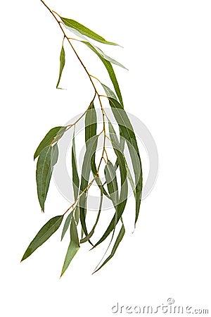 Free Eucalyptus Isolated Stock Photo - 94839760