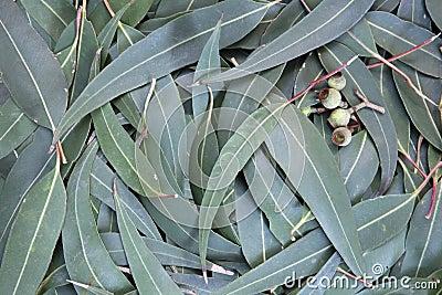 Eucalyptus Leaf Background
