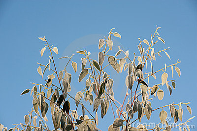 Eucalyptus leaves and blue sky