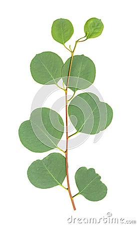 Eucalyptus Leaves isolated