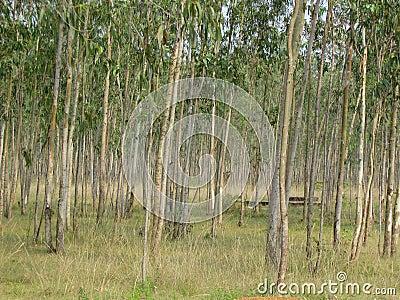 Eucalyptus plantation and trees