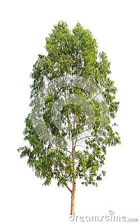 Free Eucalyptus Tree Royalty Free Stock Photo - 29838545
