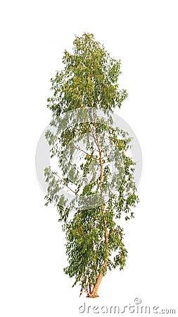 Free Eucalyptus Tree Royalty Free Stock Image - 29838556