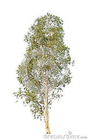 Free Eucalyptus Tree Isolated On White Background Stock Photos - 39512343