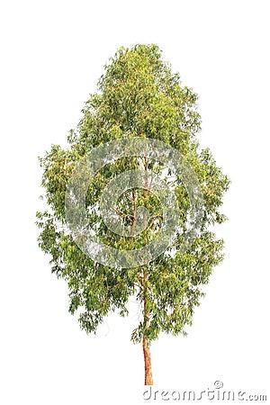 Free Eucalyptus Tree, Tropical Tree Isolated On White Royalty Free Stock Photography - 39248207