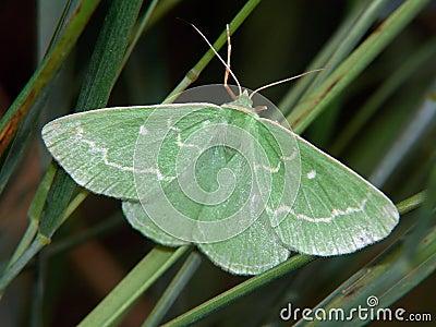 Euchloris smaragdaria.