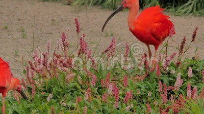 eudocimus ibisa ruber szkarłat zbiory wideo