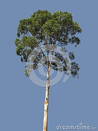 eukalyptus baum lizenzfreies stockbild bild 16468226. Black Bedroom Furniture Sets. Home Design Ideas