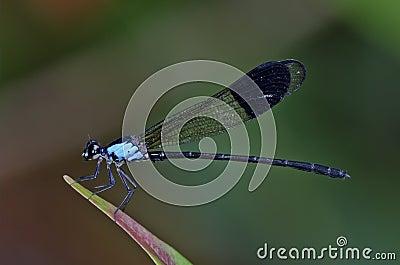 Euphaea Impar male damselfly