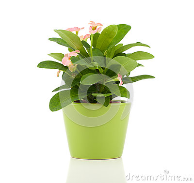 Free Euphorbia Milii (crown Of Thorns) Stock Photography - 56272062