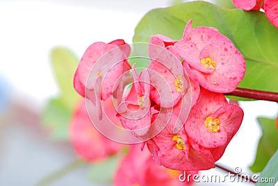 Euphorbia Milii flower