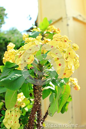 Free Euphorbia Milii Or Crown Of Thorns, Christ Plant, Christ Thorn Stock Photography - 61570782