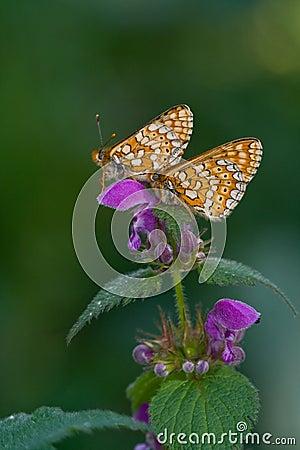 Free Euphydryas Aurinia Stock Images - 15606864