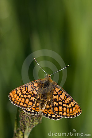 Free Euphydryas Aurinia Royalty Free Stock Images - 15606869