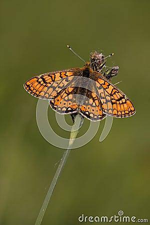 Free Euphydryas Aurinia Stock Images - 15606874