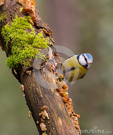 Eurasian Blue Tit on moss log