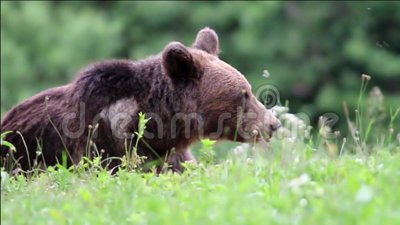 Eurasian brown bear. Carpathian brown bear eating in hes natural environment. Eurasian brown bear stock video footage