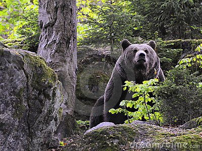 Eurasian brown bear in forest