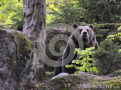 Eurasian brown bear in forest