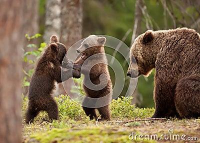 Eurasian brown bear Ursos arctos, female and cubs
