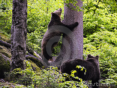 Eurasian brown bears in forest