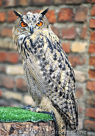 Free Eurasian Eagle Owl Stock Image - 21602981