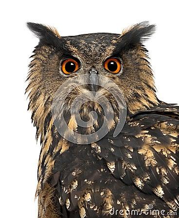 Eurasian Eagle-Owl, Bubo bubo, 15 years old