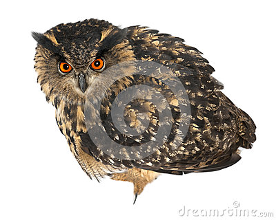 Eurasian Eagle-Owl, Bubo bubo, 15 years old
